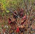 Sarracenia purpurea (5070015310).jpg