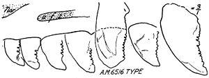 Saurornithoides - Maxillary teeth