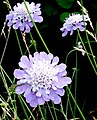 Scabious - geograph.org.uk - 544069.jpg