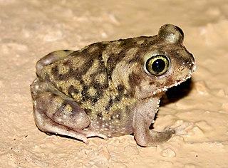 <i>Scaphiopus</i> genus of amphibians