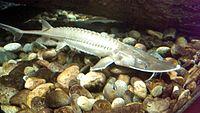 Scaphirhynchus platorynchus 6.14.2014b.jpg