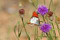 Scarlet Tip (Colotis danae annae) male on Vernonia (Polydora poskeana) (16796495814).jpg