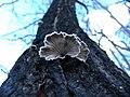Schizophyllum commune fotografija iz Niša.jpg