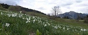 Seewis im Prättigau - Narcissus or Daffodils near Seewis