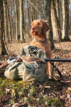 Wirehaired Vizsla - Wirehaired Vizsla guarding game