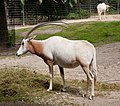 Scimitar oryx - Berlin zoo.jpg