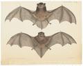 Scotophilus gouldii - 1700-1880 - Print - Iconographia Zoologica - Special Collections University of Amsterdam - UBA01 IZ20800077.tif