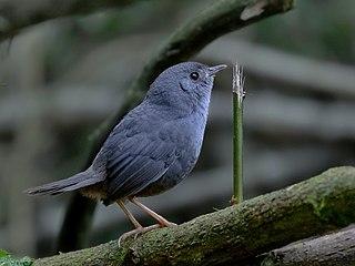 Rock tapaculo species of bird