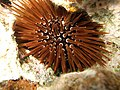 Sea Urchin (321379143).jpg