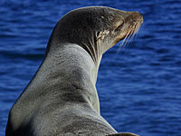 Sea lion head by the ocean