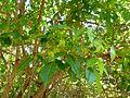 Searsia chirindensis, lower en bloeiwyses, b, Pretoria NBT.jpg