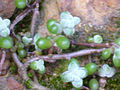 Sedum brevifolium 2010-4-02 SierraMadrona.jpg