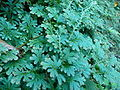 Selaginella uncinata 002 (天問).jpg