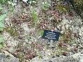 Sempervivum caucasicum - Botanischer Garten Freiburg - DSC06420.jpg