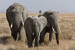 Serengeti Elefantenherde2.jpg