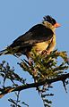 Shaft-tailed whydah, Vidua regia, at Pilanesberg National Park, Northwest Province, South Africa (28576957961).jpg