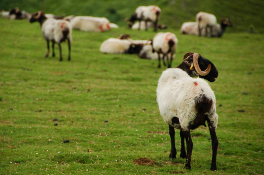 Laxta sheep in Navarre.