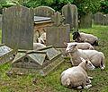 Sheep in the churchyard, Spofforth (7576832920).jpg