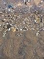 Shells, Seton Sands - geograph.org.uk - 327219.jpg