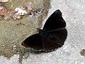 Siam Black Prince (40411532262).jpg