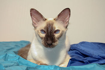 English: cross-eyed balinese cat Deutsch: Schi...