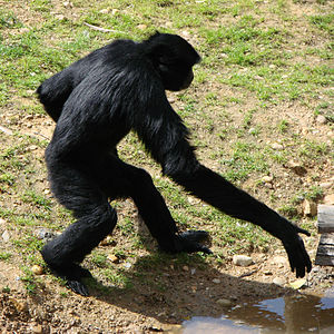 """Java Man - The gibbon's ability to stand and walk upright made Eugène Dubois believe it was closely related to humans. This is one of the reasons why he once claimed that Java Man looked like a """"giant gibbon""""."""