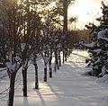 Siberian Pine grove Koryazhma (05).JPG