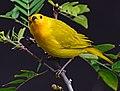 Sicalis flaveola (Canario coronado) - Flickr - Alejandro Bayer (7).jpg