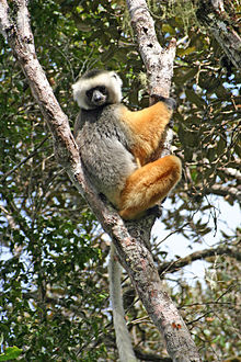A diademed sifaka (a lemur with black and gray back; white and black head; orange limbs; black hands; and long legs and tail) clinging to a tree.