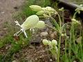 Silene vulgaris 01.JPG
