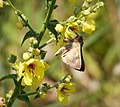 Silver Y Moth on Verbascum (30948202038).jpg