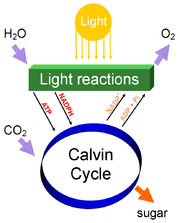 Photosynthesis splits water to liberate O2 and fixes CO2 into sugar