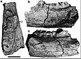 Sinomammut teeth.jpg