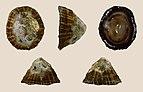 Siphonaria gigas 01.JPG