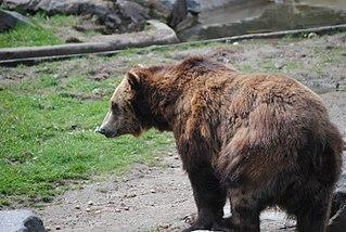 ABC Islands bear subspecies of mammal