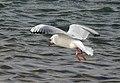 Skrattmås Black-headed Gull (31116382462).jpg