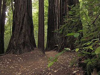 Skyline-to-the-Sea Trail - The Skyline-to-the-Sea Trail passing through a stand of California Redwood trees.