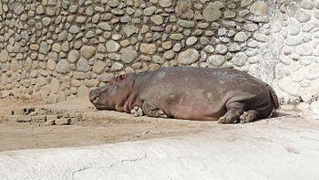 Sleeping Hippopotamus.jpg