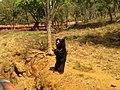 Sloth bear at IGZoopark Visakhapatnam.jpg