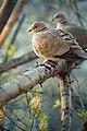 So cute dove.jpg