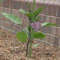 Solanum melongena ja01.jpg