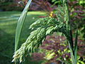 Some kind of wheat looking plant.jpg