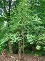 Sorbus pseudofennica at Spier's, North Ayrshire.JPG