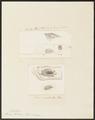 Sorex fodiens - 1700-1880 - Print - Iconographia Zoologica - Special Collections University of Amsterdam - UBA01 IZ20900139.tif