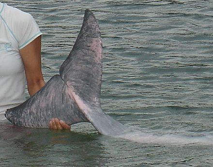 dauphin qui saute noir et blanc