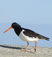 South Island pied oystercatcher.JPG