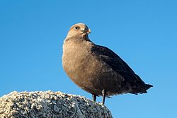 South polar skua.jpg