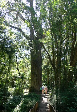 Southafrica428yellowwood.jpg