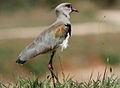 Southern Lapwing (Vanellus chilensis) (9610086438).jpg