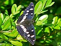 Southern White Admiral (Limenitis reducta) (8334797936).jpg